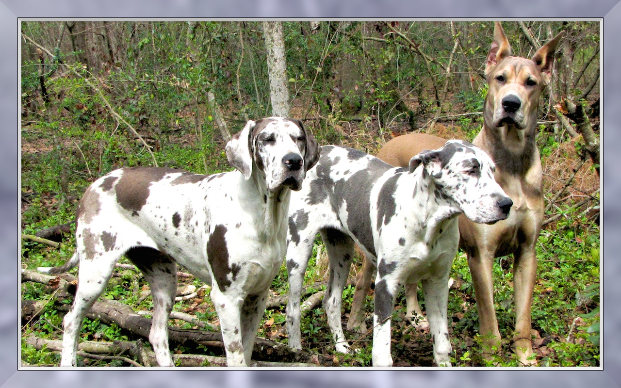 Gallery For > Blue Fawn Merle Great Dane